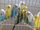 Попугаи домашнего разведения